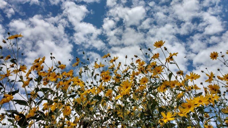 Cielo nublado del girasol imagen de archivo libre de regalías