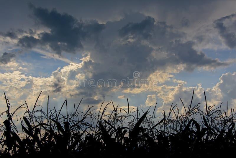 Cielo nuvoloso alla luce di sera sopra la siluetta delle piante di cereale immagini stock libere da diritti