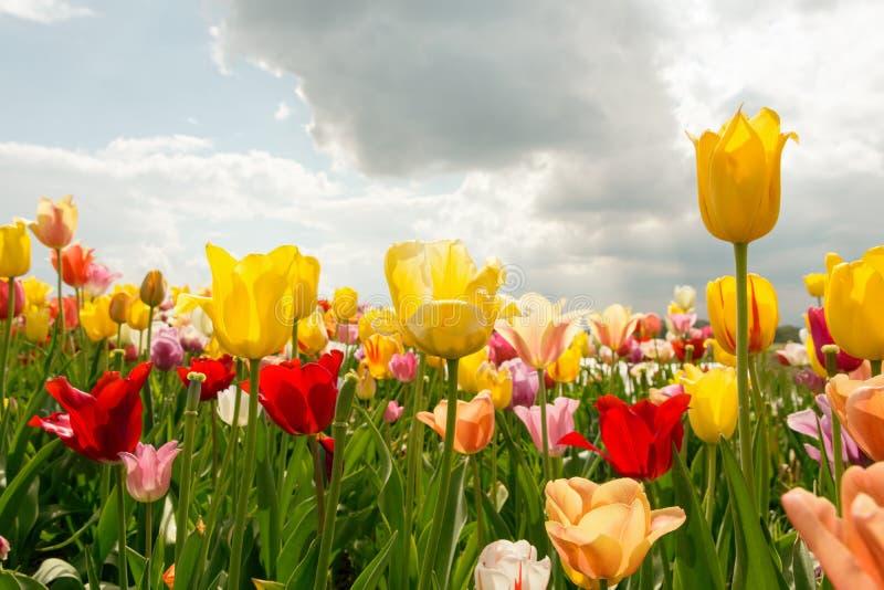 Cielo nuvoloso blu di Tulip Field With Sunshine And della primavera variopinta fotografia stock libera da diritti