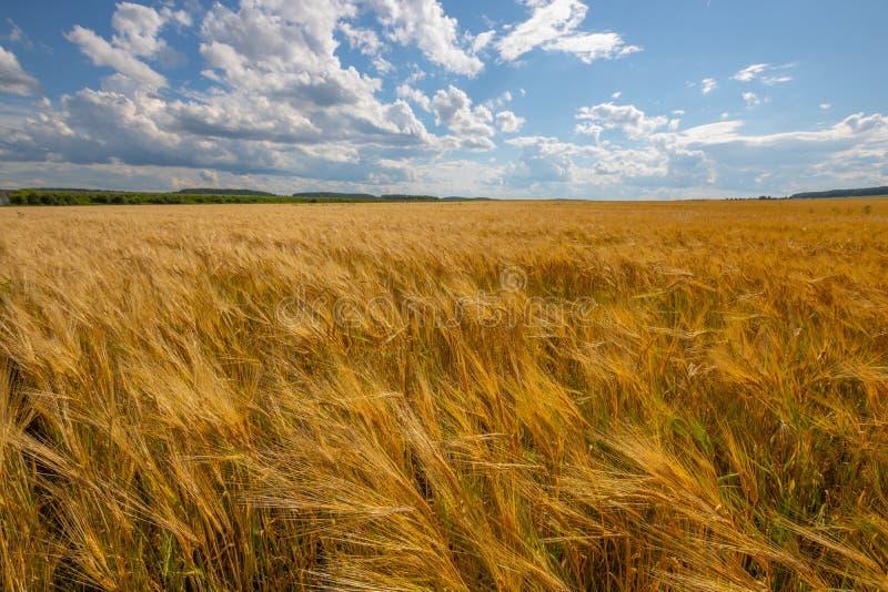 Cielo nuvoloso sopra il campo dorato pioggia prima immagini stock