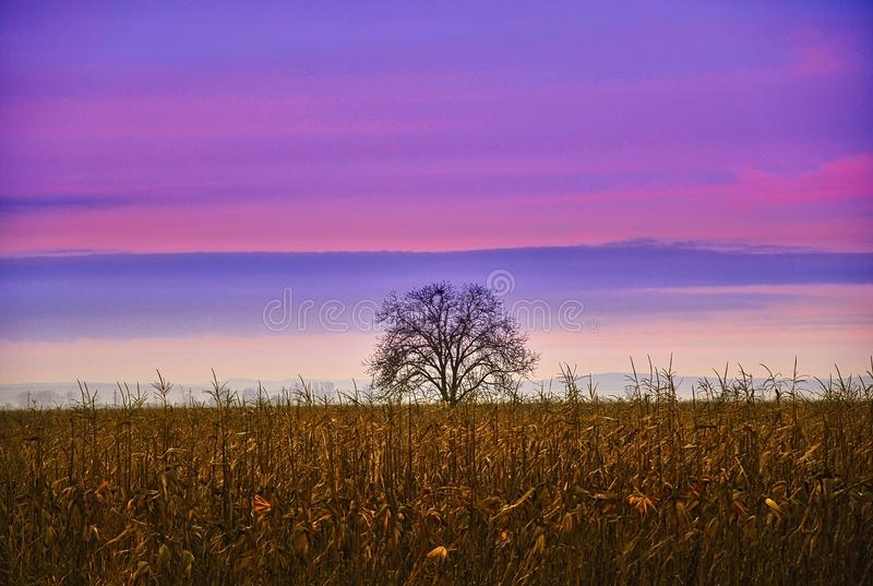 Cielo púrpura y un árbol en el midle de un campo de maíz fotografía de archivo libre de regalías