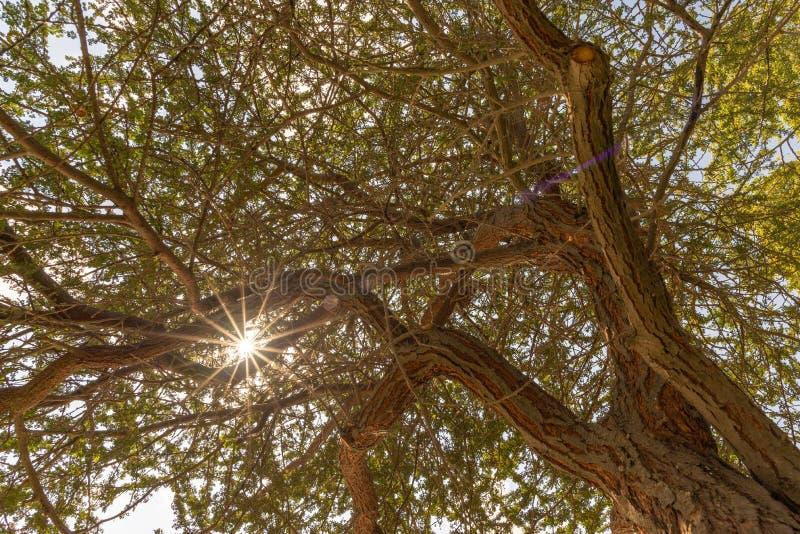 Cielo, sol y rayos del sol, a través vistas ramas del acacia, Abu Dhabi fotos de archivo