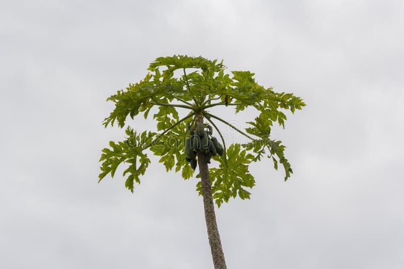 Cielo verde y azul del árbol de papaya imagen de archivo libre de regalías