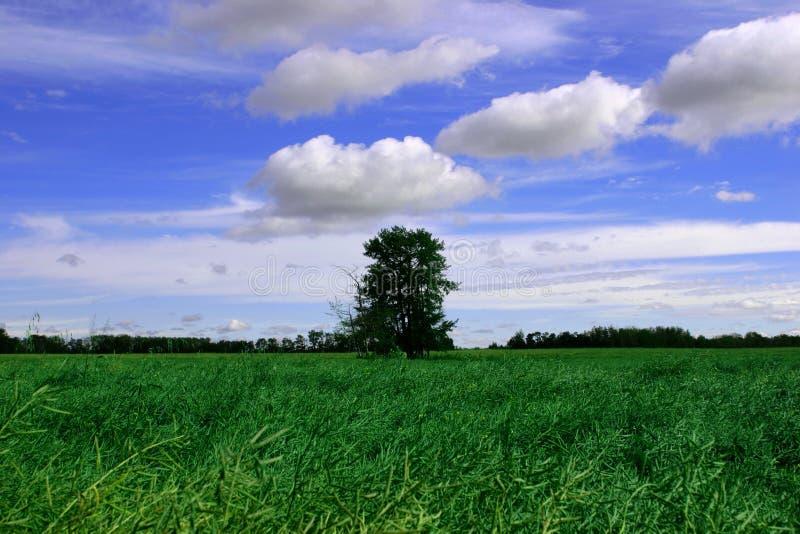 Cielos azules, campo verde y árbol fotografía de archivo