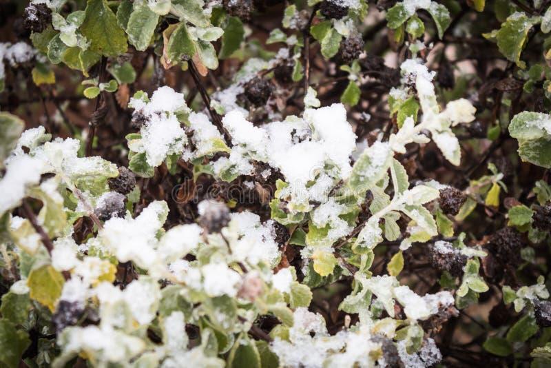 Ciemne jagody w krzaku zakrywającym z śniegiem i lodem obraz stock