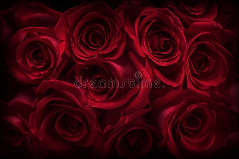 ciemne róże zdjęcie stock