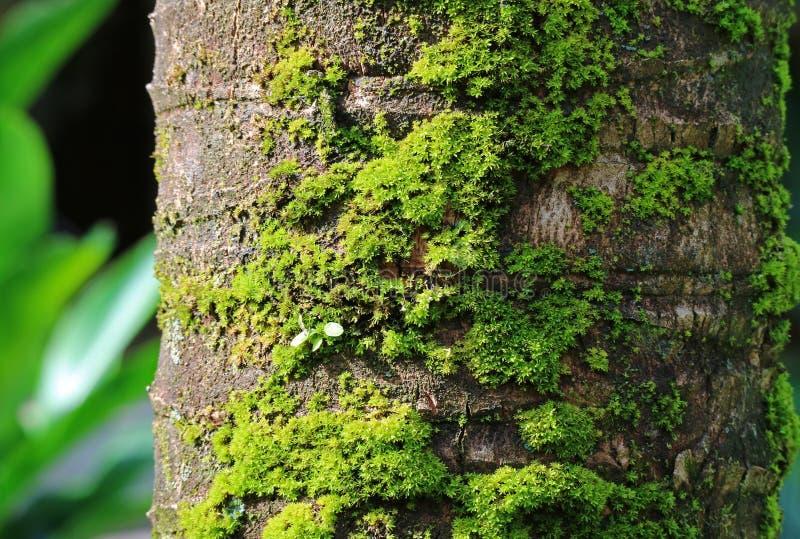 Ciemnego Brown koksu Drzewny bagażnik z Wibrującym Zielonym mech, Zamykającym up obrazy stock