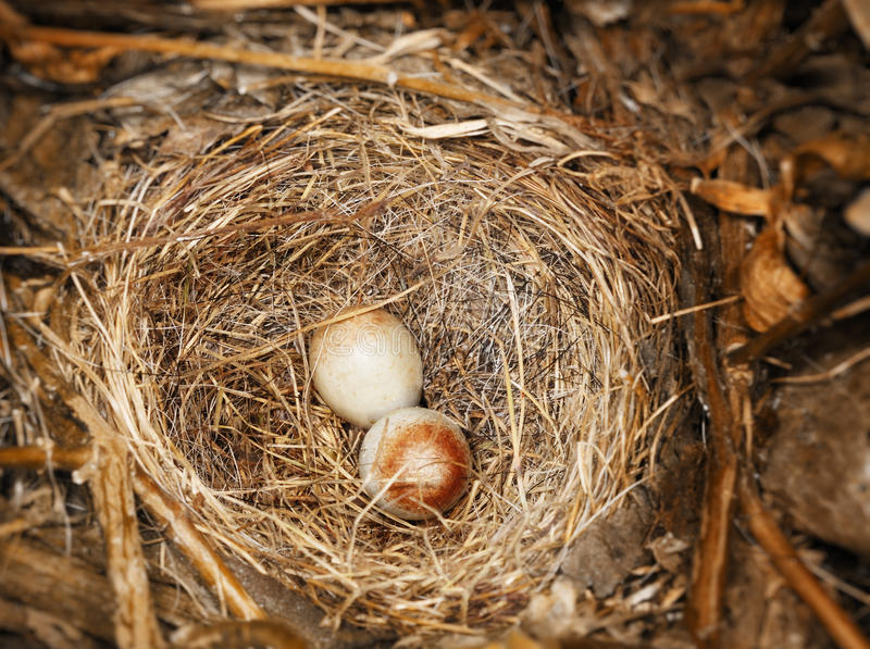 ciemni jajka przyglądali się junco zdjęcie royalty free
