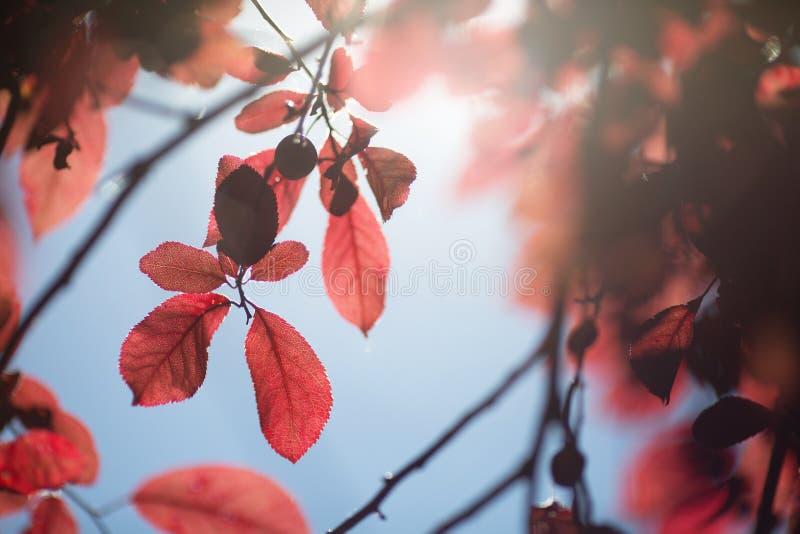Ciemni purpurowi śliwka liście Kolorowy ulistnienie na cienkiej gałąź na naturalnym tle Organicznie świezi zdrowi liście na niebi obrazy stock