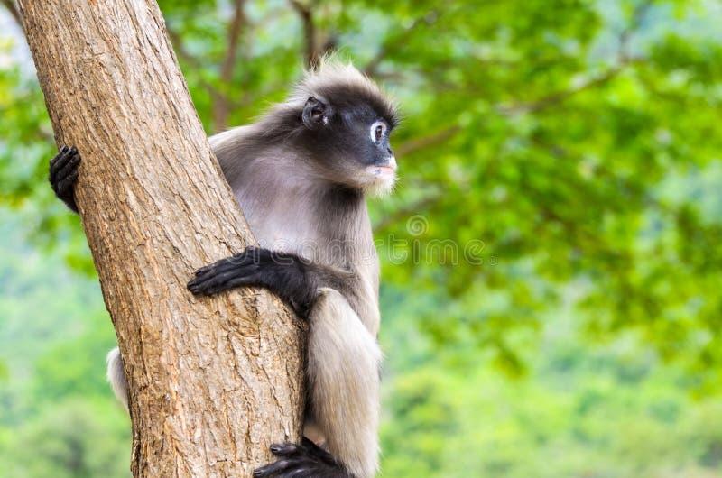 Ciemniusieńka liść małpa lub Trachypithecus obscurus na drzewie obraz stock