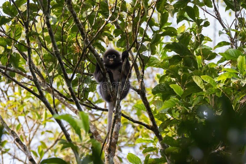 Ciemniusieńka liść małpa, także nazwany spectacled langur, spectacled lea obraz royalty free