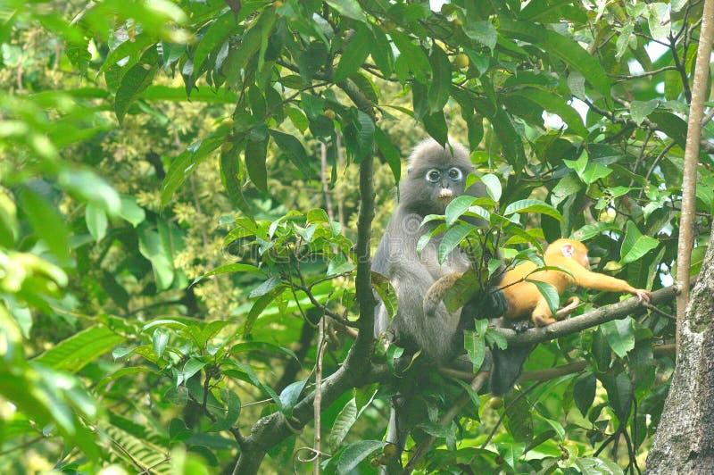 Ciemniusieńka liść małpa z jej dzieckiem w dzikim (Trachypithecus obscurus) zdjęcie royalty free