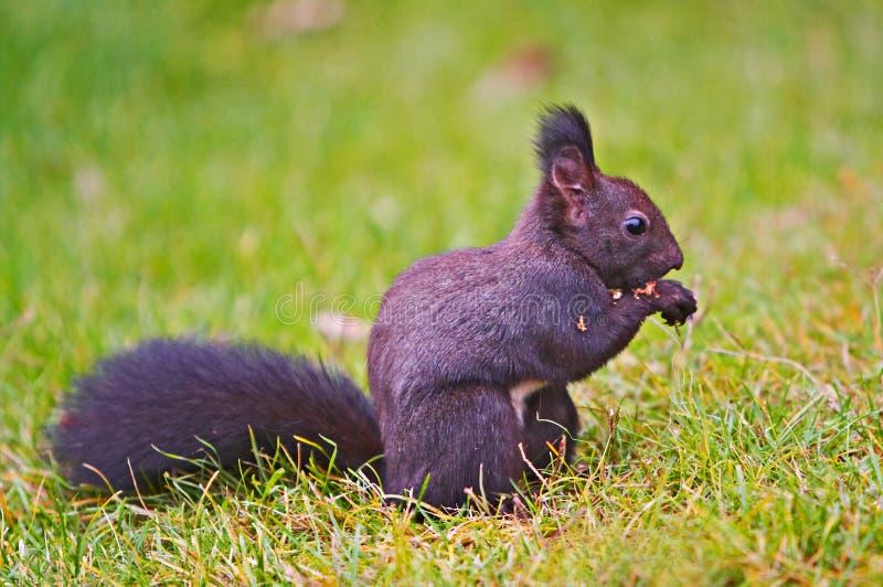 ciemniusieńka wiewiórka obraz stock