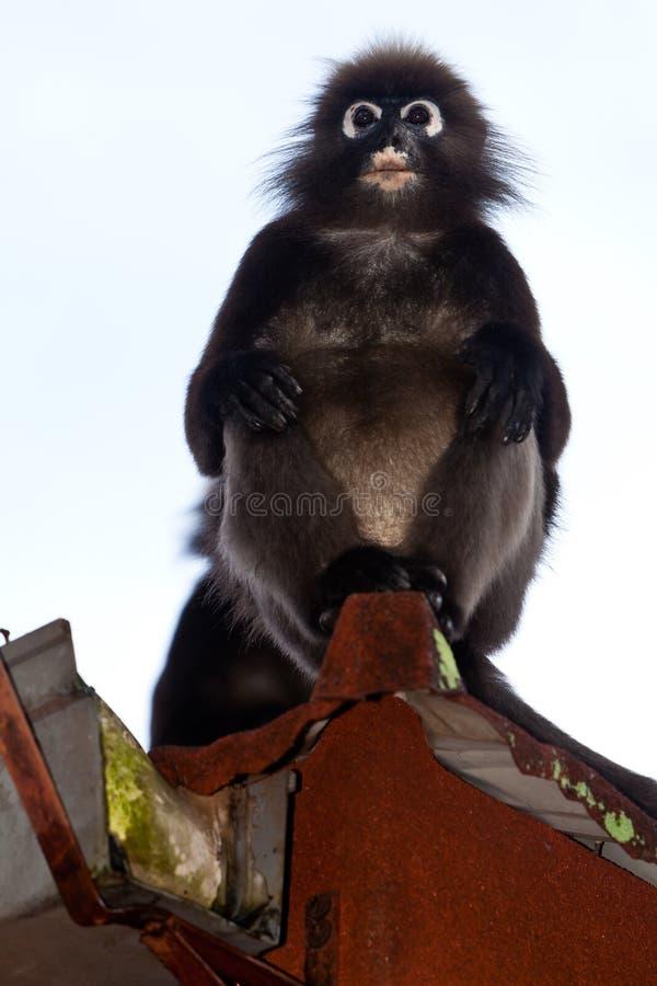 ciemniusieńki rynnowy liść małpy dachu obsiadanie fotografia stock