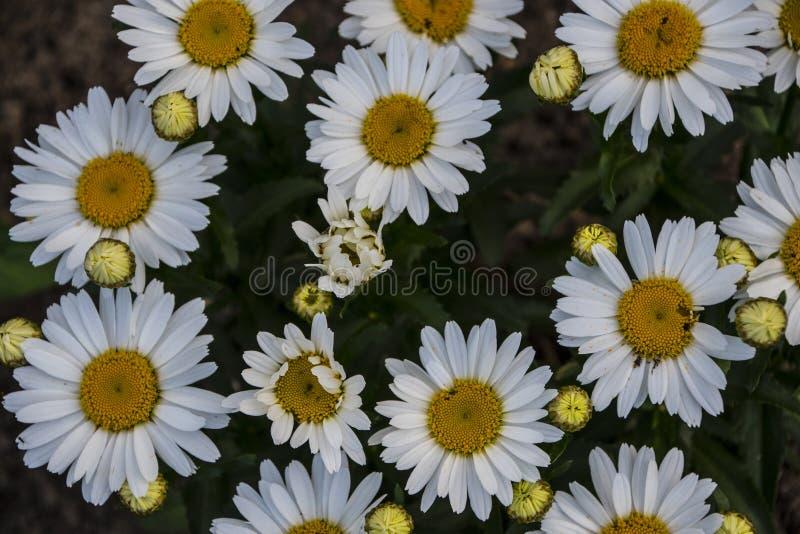 Ciemniuteńcy stokrotka kwiaty Rocznika kwiatu tekstura zdjęcie royalty free