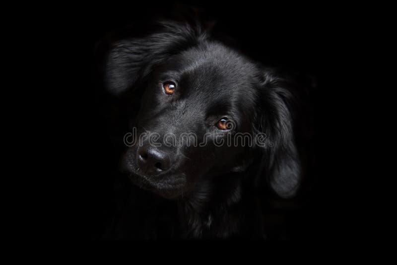 ciemności tła czarny siria psa. zdjęcie stock
