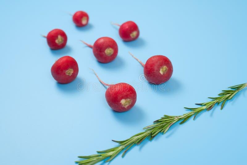 Ciemnopąsowej czerwonej rzodkwi i rozmarynów warzywo na błękitnym tle Plemnika dopłynięcie w kierunku jajka Nowy życia poczęcie zdjęcia royalty free