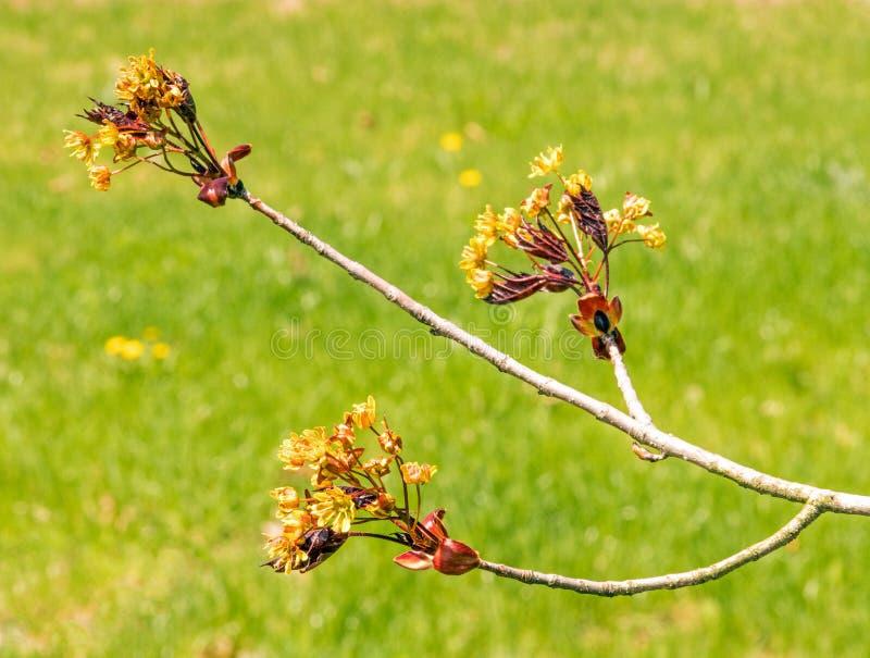 Ciemnopąsowi królewiątka Klonowego drzewa koloru żółtego kwiaty fotografia royalty free