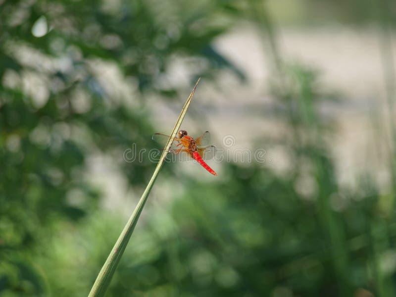 Ciemnopąsowy Dragonfly Na kiju fotografia royalty free