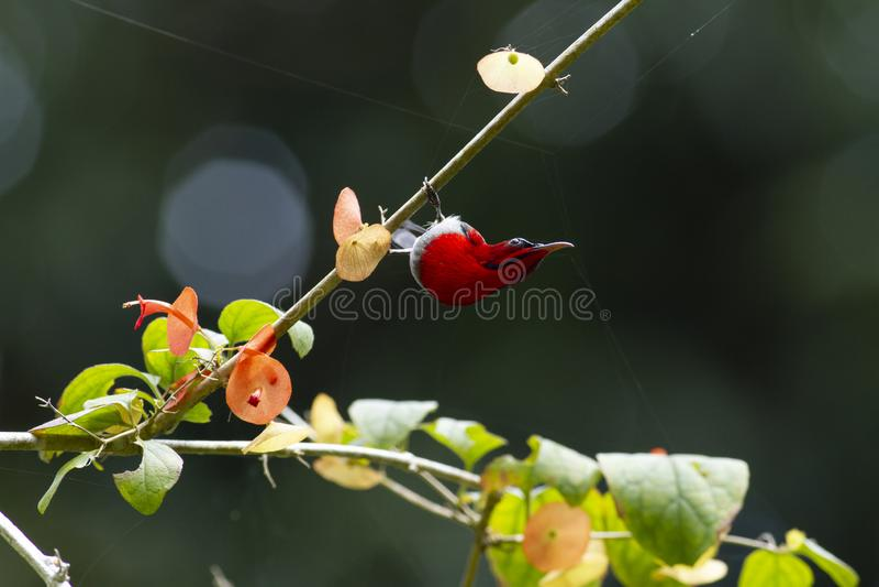 Ciemnopąsowy sunbird na budzie fotografia royalty free