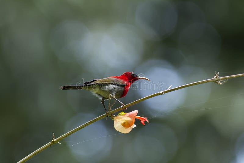 Ciemnopąsowy sunbird na budzie fotografia stock