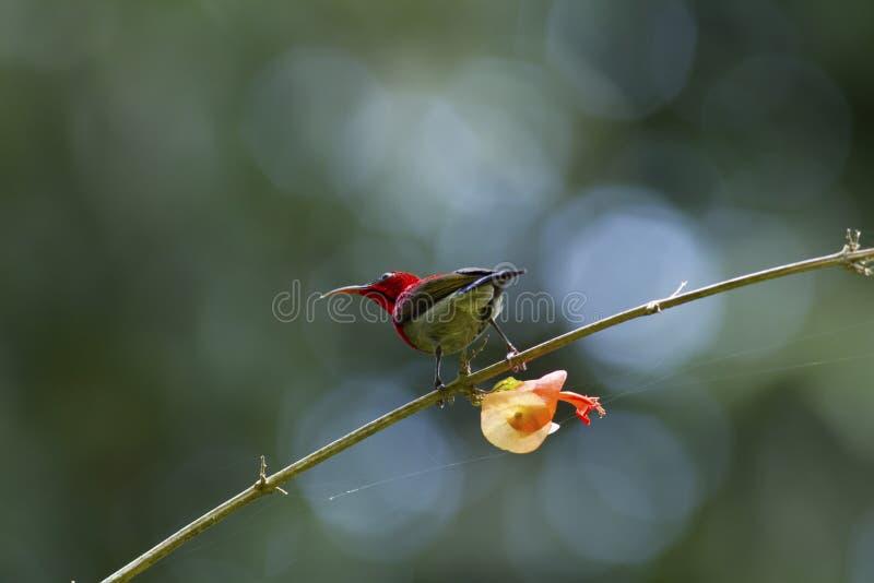 Ciemnopąsowy sunbird na budzie zdjęcia stock