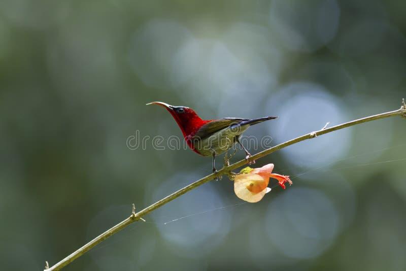 Ciemnopąsowy sunbird na budzie zdjęcie royalty free