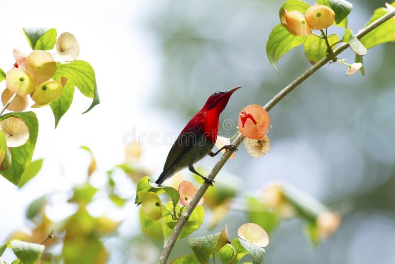 Ciemnopąsowy sunbird na budzie zdjęcia royalty free