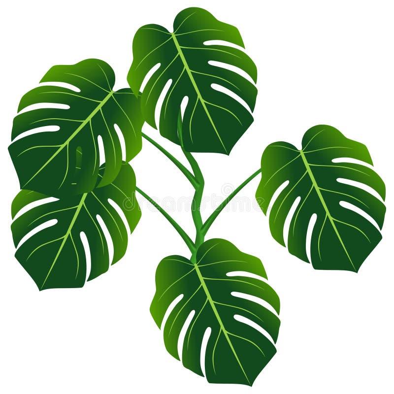 Ciemnozieleni liście monstera lub liścia filodendronu Monstera deliciosa ilustracja wektor