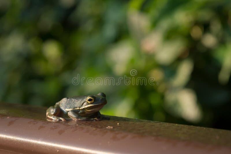 Ciemnozielona żaba na Boardwalk poręczu obrazy royalty free