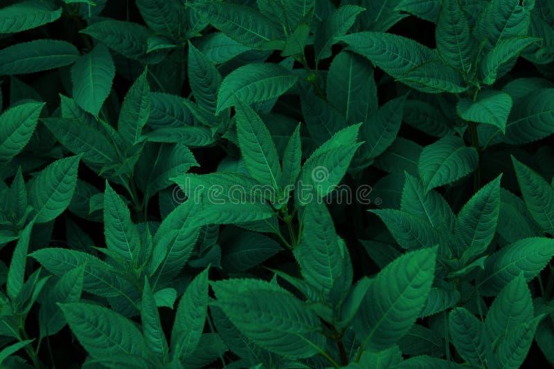 Ciemnozielona liścia odgórnego widoku tła tekstura obrazy royalty free