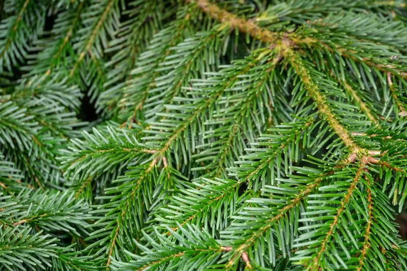 Ciemnozielone igły na gałąź iglastego drzewa jodła Abies nordmanniana jako ciemnozielony tło zdjęcie royalty free