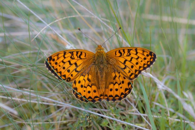 Ciemnozielony Fritillary Motyli odpoczywać na Grą (Argynnis aglaja) zdjęcia royalty free