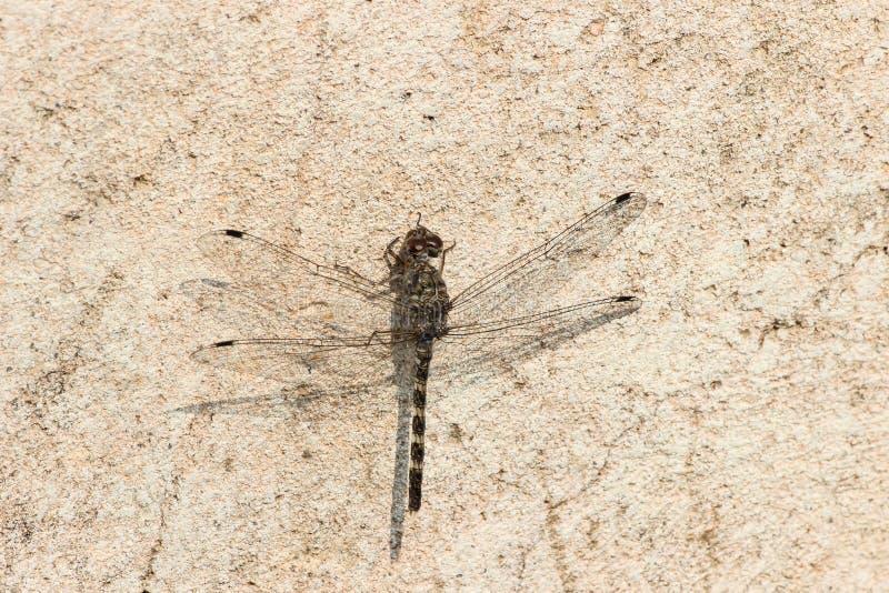 Ciemny dragonfly fotografia stock