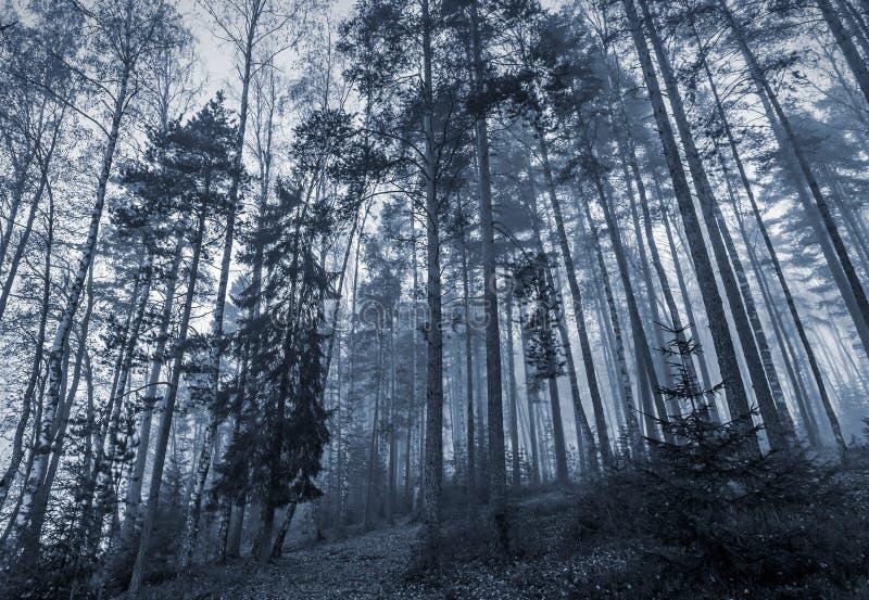 Ciemny las z mgłą i wysokimi drzewami zdjęcia stock