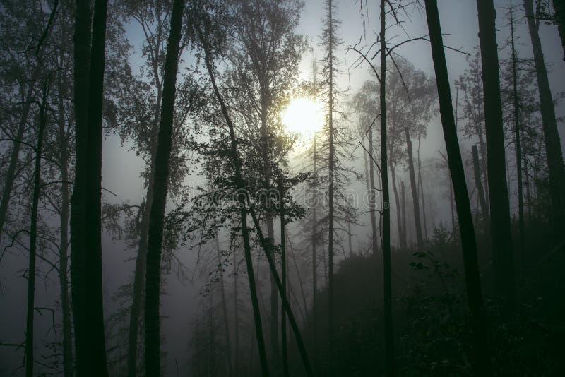 Ciemny mglisty las z mgłą w jesieni, obraz royalty free