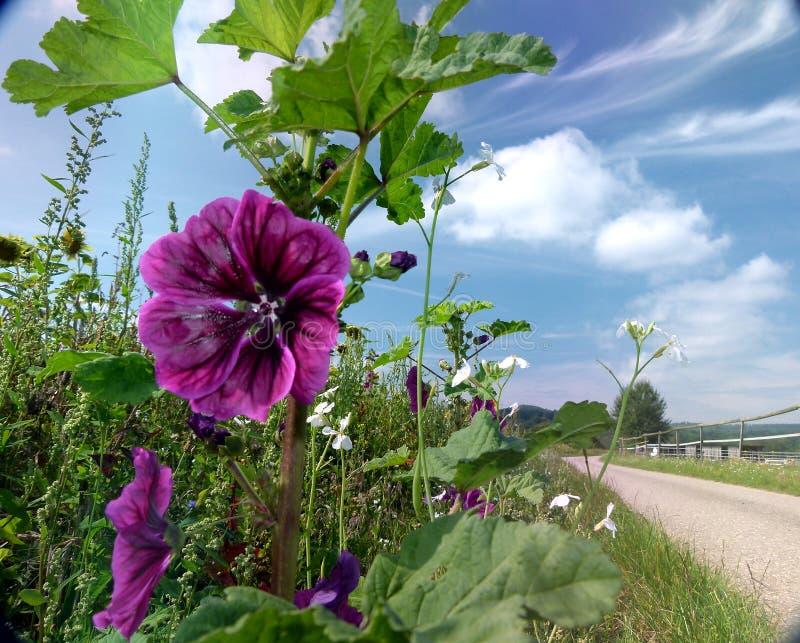 Ciemny purpurowy kwitnący śródpolny bindweed z słonecznika polem w tle 2 obrazy stock