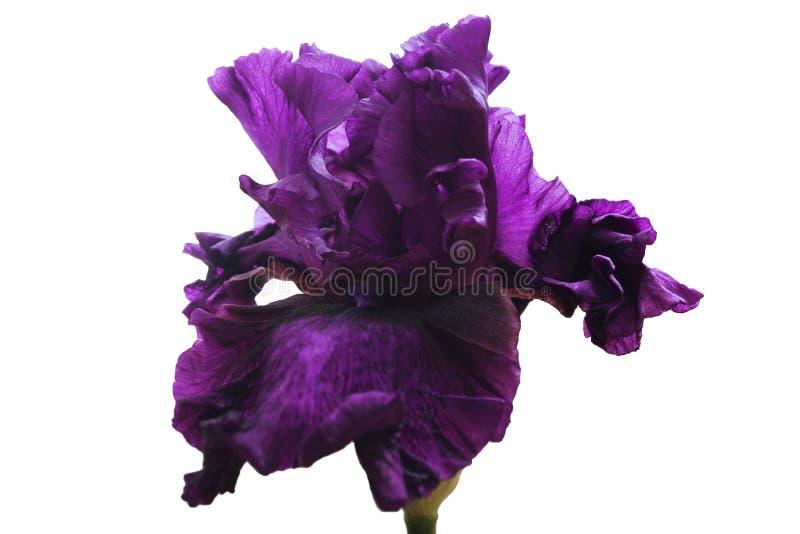 Ciemny purpurowy luksusowy kwiatu irys na zielonym badylu, biały odosobniony tło obraz stock