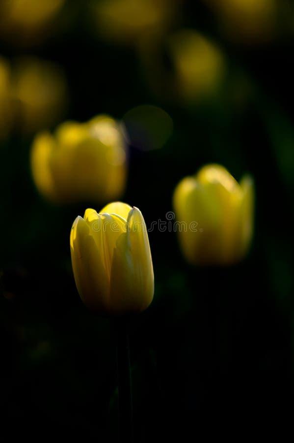 ciemny tulipan fotografia royalty free