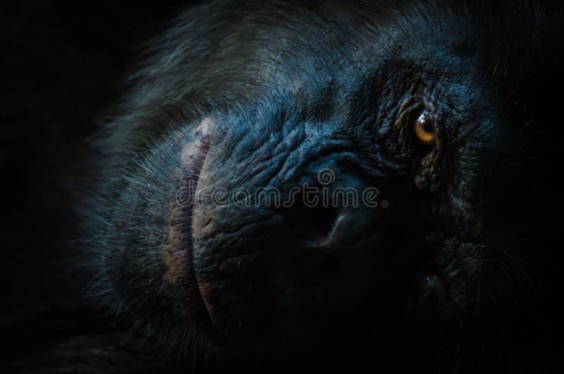Ciemny zbliżenie portret szympans lub szympans z mądrym spojrzeniem przy Afi górami Musztrujemy rancho, Nigeria zdjęcie stock