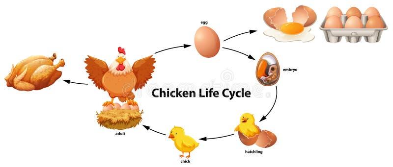 Ciencia del ciclo de vida del pollo ilustración del vector