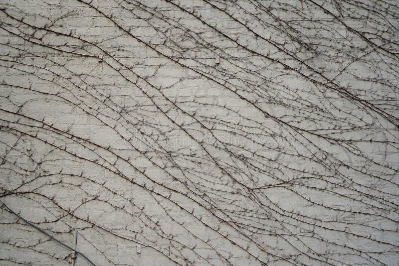 Cienkie gałąź niektóre ono wdrapuje się roślina na ceglanej jasnopopielatej ścianie Światło dzienne Boczny widok obrazy stock