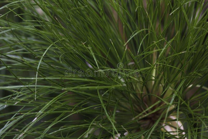 Cienkiego Zielonego Nil trawy cyperus trzonu grona papirusowy zakończenie obraz royalty free