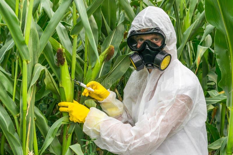 Científico de la OGM en las batas genético que modifican el maíz del maíz foto de archivo libre de regalías