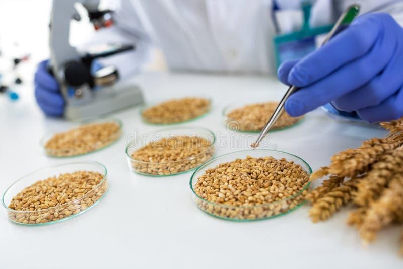 Científico que toma trigo con pincette en el laboratorio para la comida de la investigación foto de archivo libre de regalías
