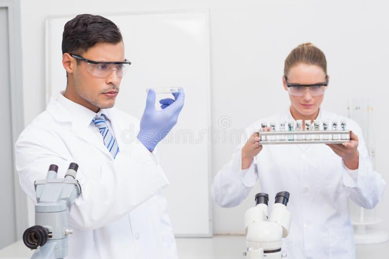 Científicos que miran la placa de Petri y los tubos imagen de archivo