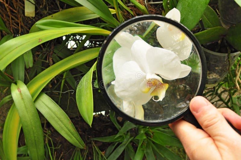 Cientista que estuda a planta da orquídea fotografia de stock