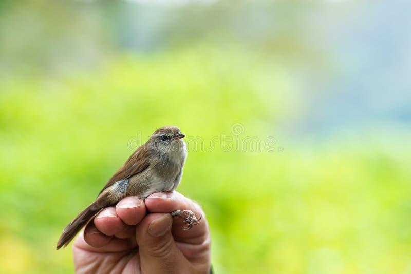 Cientista que guarda o cetti de Cettia da toutinegra de um Cetti em uma borda do pássaro/que soa a sessão imagem de stock royalty free