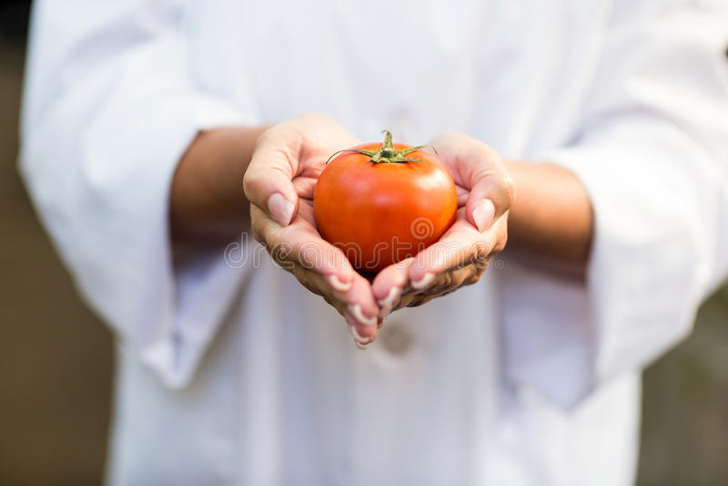 Cientista que guarda o tomate fresco na estufa imagem de stock royalty free