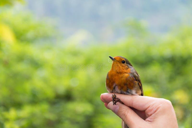 Cientista que guarda um rubecula europeu do Erithacus do pisco de peito vermelho em uma borda do pássaro/que soa a sessão fotos de stock